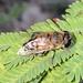 Phytomia incisa - Photo (c) Stefaneakame, algunos derechos reservados (CC BY-NC)
