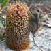 Tarsipes rostratus - Photo (c) Bo Janmaat, algunos derechos reservados (CC BY-NC)