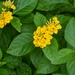 New Gold Lantana - Photo (c) Dailun Shi, some rights reserved (CC BY-NC)