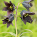 Fritillaria camschatcensis - Photo (c) Kevin Schafer, μερικά δικαιώματα διατηρούνται (CC BY-NC-ND)