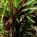 Croton de Jardín - Photo (c) Ahmad Fuad Morad, algunos derechos reservados (CC BY-NC-SA)