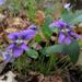 Viola sagittata - Photo (c) Fritz Flohr Reynolds, algunos derechos reservados (CC BY-NC)
