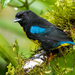 Black-and-gold Tanager - Photo (c) David Monroy R, some rights reserved (CC BY-NC)