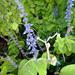 Plectranthus grandis - Photo no hay derechos reservados