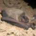 Tummapantalepakko - Photo (c) simono, osa oikeuksista pidätetään (CC BY-NC)
