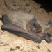 Northern Long-eared Bat - Photo (c) simono, some rights reserved (CC BY-NC)