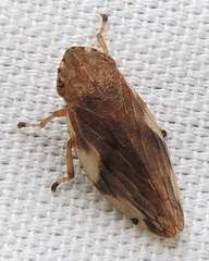 Four-spotted Spittlebug - Photo (c) Anita Gould, some rights reserved (CC BY-NC), uploaded by Anita