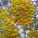 Liquen Parietino - Photo (c) Drow_male, algunos derechos reservados (CC BY-SA)