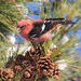 White-winged Crossbill - Photo (c) Tom Murray, some rights reserved (CC BY-NC)