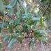 Quercus parvula - Photo (c) snakeinmypocket, osa oikeuksista pidätetään (CC BY-NC)
