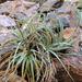 Hechtia montana - Photo (c) Mike Plagens, osa oikeuksista pidätetään (CC BY-NC)
