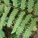 Gymnosphaera denticulata - Photo (c) George蕨士, algunos derechos reservados (CC BY-NC)