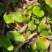 Microgramma vacciniifolia - Photo (c) e_g, μερικά δικαιώματα διατηρούνται (CC BY-NC)