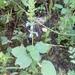 Salvia leptostachys - Photo (c) María Isabel Ignacio Sánchez, some rights reserved (CC BY-NC)