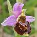 Ophrys fuciflora - Photo (c) Tony Morris, osa oikeuksista pidätetään (CC BY-NC)