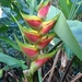 Heliconia wagneriana - Photo (c) johanna_perea, algunos derechos reservados (CC BY-NC)