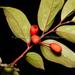 Schoepfia chinensis - Photo (c) 曾云保, algunos derechos reservados (CC BY-NC)