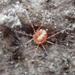 Camerobiidae - Photo (c) Cedric Lee, algunos derechos reservados (CC BY-NC)