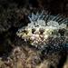 Siganus luridus - Photo (c) surfelife, algunos derechos reservados (CC BY-NC)