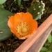 Opuntia bonaerensis - Photo (c) Leonel Roget, algunos derechos reservados (CC BY)