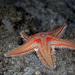 Estrela-Escavadora - Photo (c) surfelife, alguns direitos reservados (CC BY-NC)