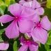 Jabonera de Madagascar - Photo (c) shubbu1440, algunos derechos reservados (CC BY-NC)
