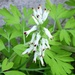 White Ramping-Fumitory - Photo (c) tpweber, some rights reserved (CC BY-NC)