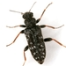 Eurygeniinae - Photo (c) Mike Quinn, Austin, TX, some rights reserved (CC BY-NC)