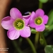 Garden Pink-Sorrel - Photo (c) Julián OLVERA, some rights reserved (CC BY-NC)