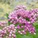 Pluchea odorata - Photo (c) Benjamin J. Dion,  זכויות יוצרים חלקיות (CC BY-NC-SA)