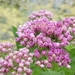 Pluchea odorata - Photo (c) Benjamin J. Dion, μερικά δικαιώματα διατηρούνται (CC BY-NC-SA)