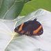 Hypolimnas octocula marianensis - Photo (c) aubrey_moore,  זכויות יוצרים חלקיות (CC BY)