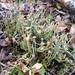 Cladonia gracilis - Photo (c) Bob McDonald, algunos derechos reservados (CC BY-NC)