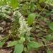 Iresine heterophylla - Photo (c) Alison Northup, algunos derechos reservados (CC BY)