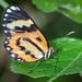 Placidina euryanassa - Photo (c) Cláudio Dias Timm, μερικά δικαιώματα διατηρούνται (CC BY-NC-SA)