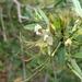 Cadaba fruticosa - Photo (c) Ajit Ampalakkad, algunos derechos reservados (CC BY-SA)
