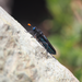 Paramydas igniticornis - Photo (c) orlandomontes,  זכויות יוצרים חלקיות (CC BY-NC)