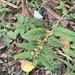 Sida planicaulis - Photo (c) marinavm, μερικά δικαιώματα διατηρούνται (CC BY-NC)