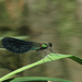 Calopteryx samarcandica - Photo (c) anonymous, some rights reserved (CC BY)