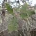 Quercus × howellii - Photo (c) Morgan Stickrod, algunos derechos reservados (CC BY-NC)