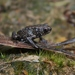Kinabalu Dwarf Toad - Photo (c) Thomas Brown, some rights reserved (CC BY-NC), uploaded by kogia