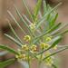 Vincetoxicum sibiricum - Photo (c) petr_kosachev, algunos derechos reservados (CC BY-NC)