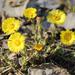 Τουσιλάγο Η Φαρφάρα (Βήχιον) - Photo (c) Serhii Koniakin, μερικά δικαιώματα διατηρούνται (CC BY-NC)