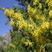 Common Laburnum - Photo (c) svetlana-bogdanovich, some rights reserved (CC BY-NC)