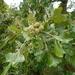 Quercus macrocarpa - Photo (c) Wasyl Bakowsky, osa oikeuksista pidätetään (CC BY-NC)