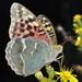 Argynnis pandora - Photo (c) faluke, μερικά δικαιώματα διατηρούνται (CC BY-NC)