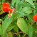 Cuphea nudicostata - Photo (c) Dick Culbert, algunos derechos reservados (CC BY)