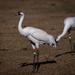 Grulla Blanca - Photo (c) Roy Cohutta, algunos derechos reservados (CC BY)