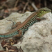 Rainbow Ameiva - Photo (c) Luis Angel Aguilar Orea, some rights reserved (CC BY-NC)