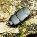 Hister Beetles - Photo (c) Katja Schulz, some rights reserved (CC BY)